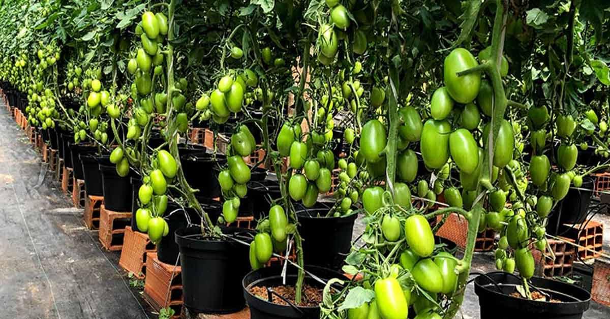 A diversidade se espalhou pelo mundo dos tomates