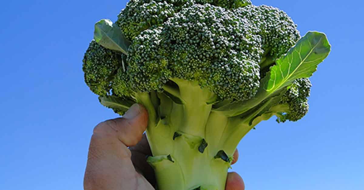 Brócolis Hib. Domador. É hora de plantar e ter uma colheita uniforme