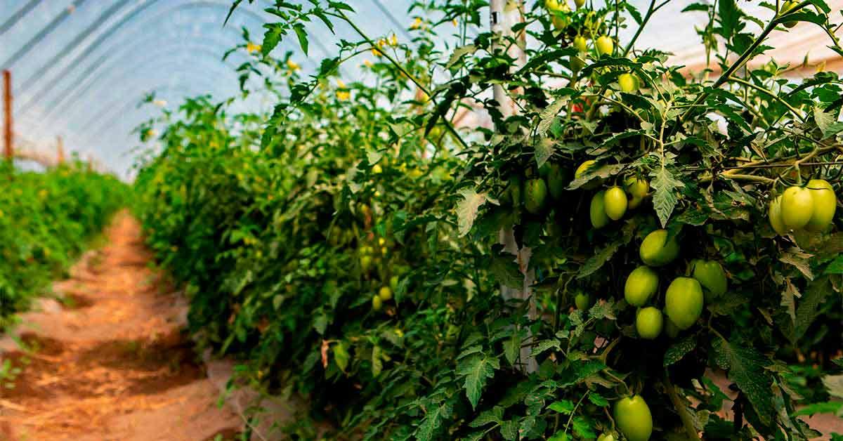 Como plantar tomate em 11 passos simples