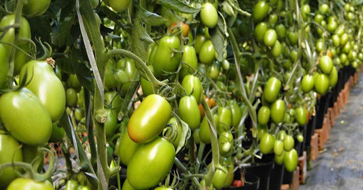 Tomate Vero pode ser cultivado em 3 formas de plantio