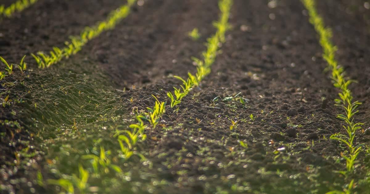 Sistema de plantio direto em hortaliças